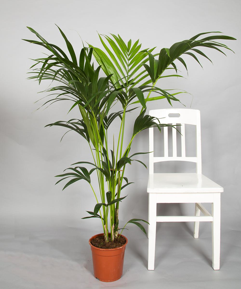palmen zimmerpflanzen 2bloom. Black Bedroom Furniture Sets. Home Design Ideas