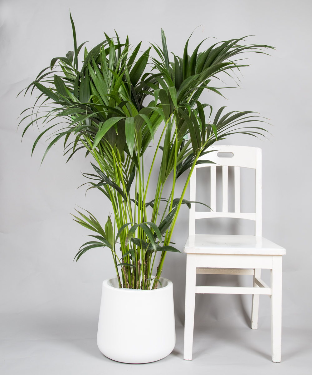 kentiapalme jetzt kaufen 2bloom. Black Bedroom Furniture Sets. Home Design Ideas