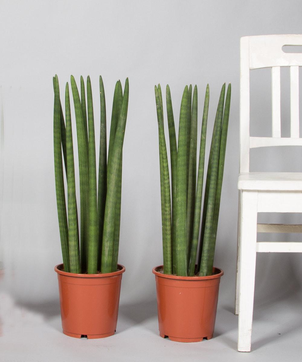sansevieria straight bei 2bloom entdecken 2bloom. Black Bedroom Furniture Sets. Home Design Ideas