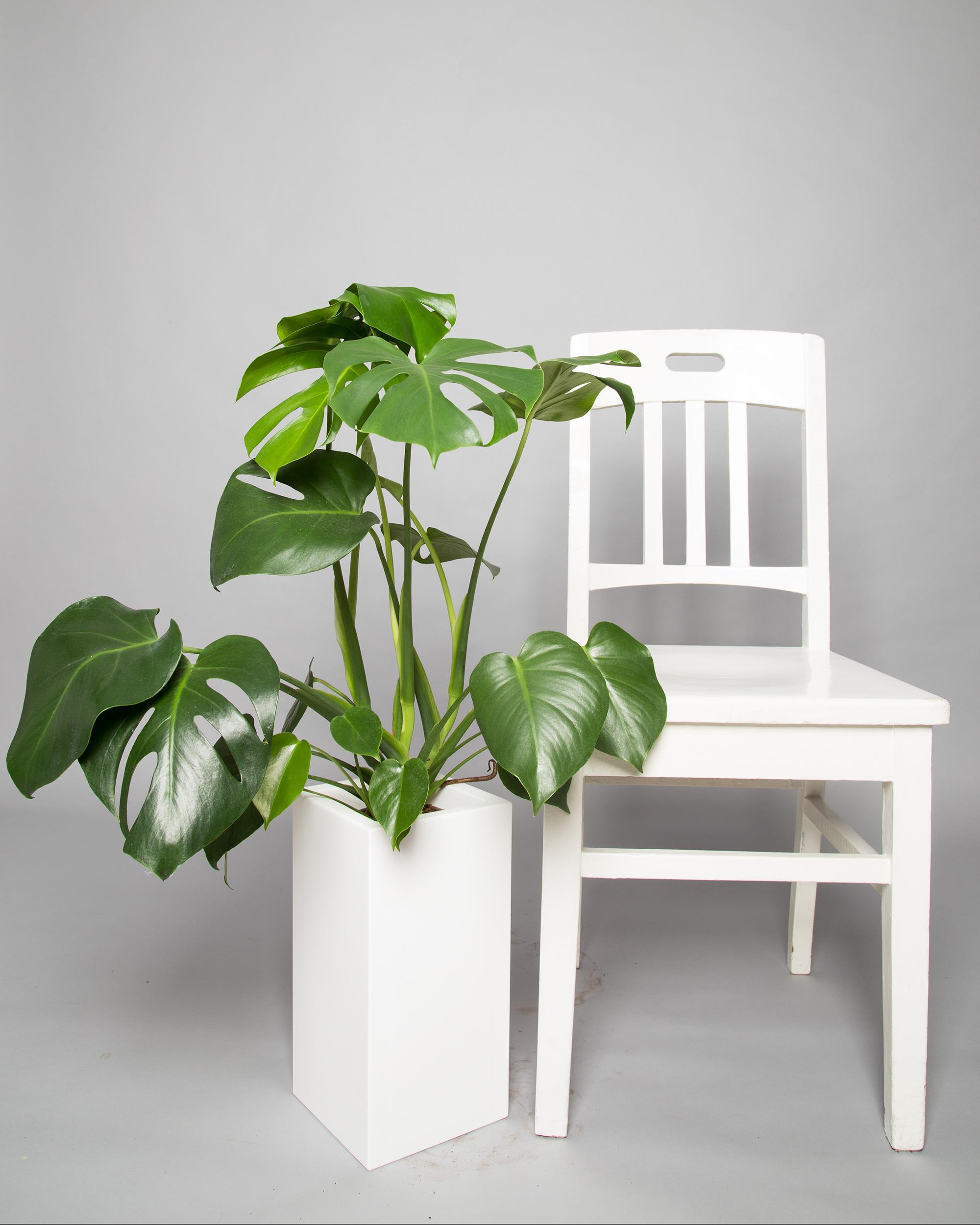 monstera versand schnell sicher sch n 2bloom. Black Bedroom Furniture Sets. Home Design Ideas