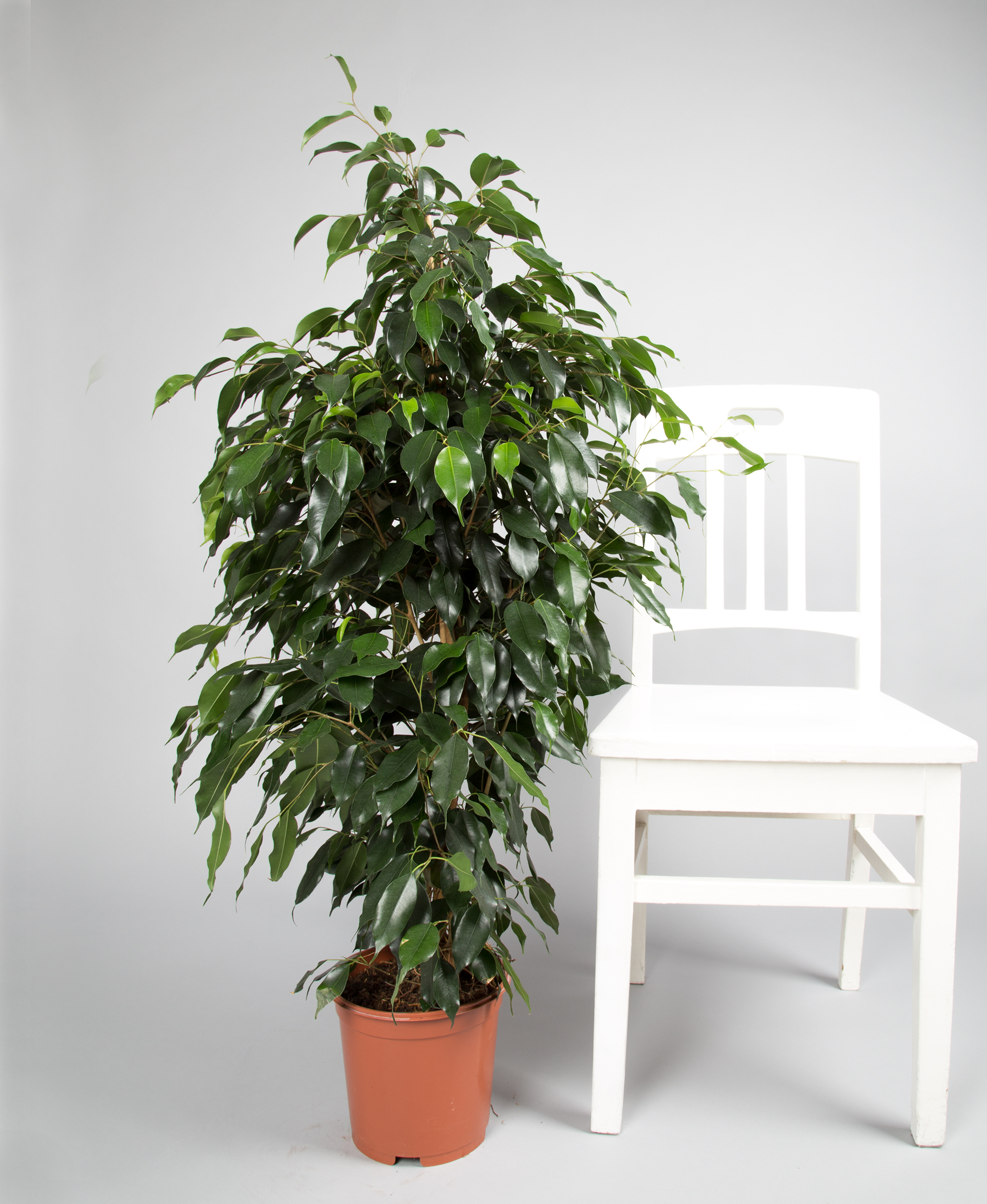 ficus danielle ficus zimmerpflanzen 2bloom. Black Bedroom Furniture Sets. Home Design Ideas