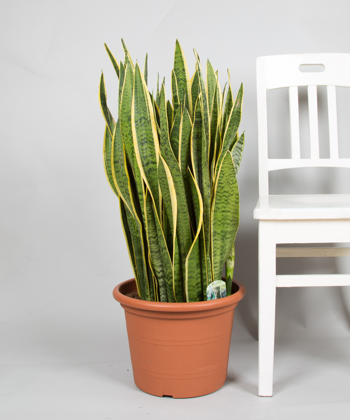 sansevieria laurentii jetzt entdecken 2bloom. Black Bedroom Furniture Sets. Home Design Ideas