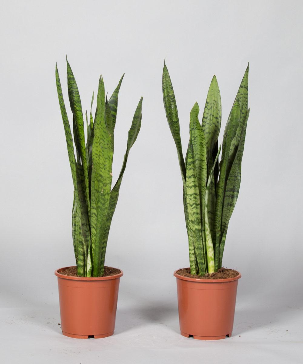 selten blüende palme yucca