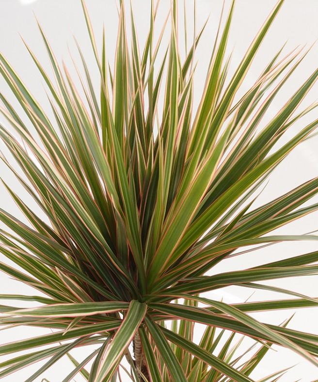 drachenbaum pflege drachenbaum pflege wissenswerte tatsachen und sch ne bilder drachenbaum. Black Bedroom Furniture Sets. Home Design Ideas