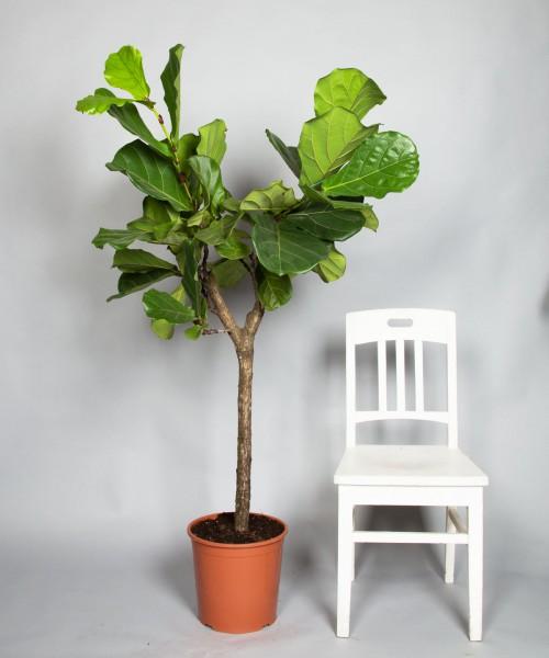 Ficus Lyrata, Santa Monica-3