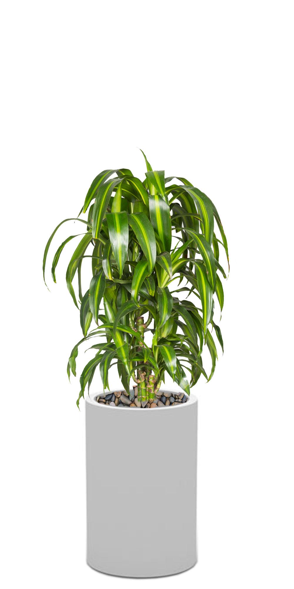 drachenbaum zimmerpflanzen 2bloom. Black Bedroom Furniture Sets. Home Design Ideas