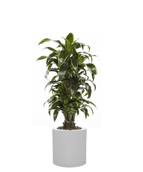 Drachenbaum dorado
