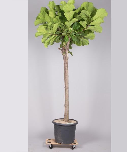 Lyrata Ficus 260cm