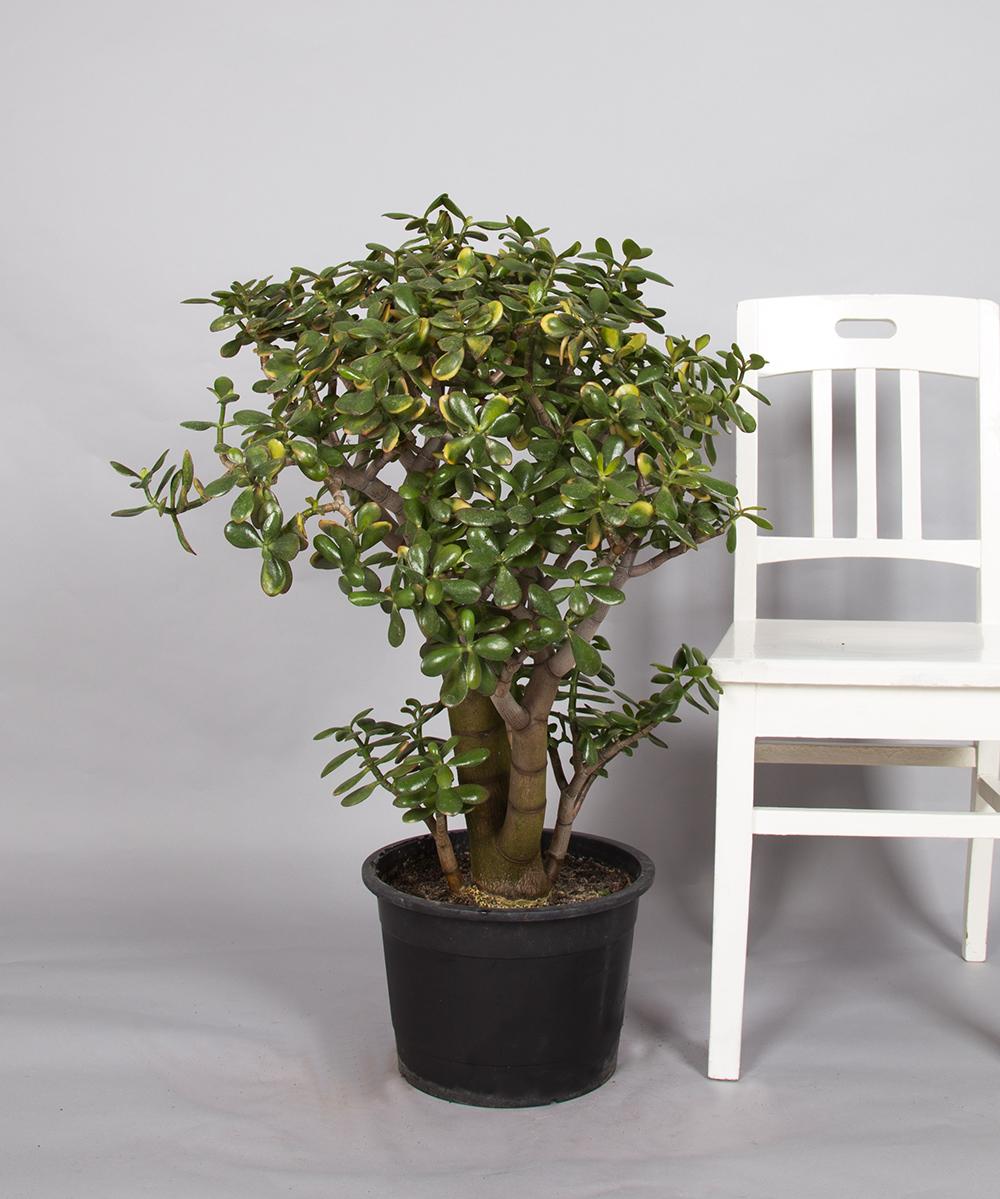 Jadestrauch zimmerpflanzen 2bloom for Zimmer pflanzenversand