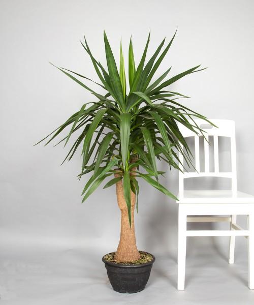 Yuccapalme