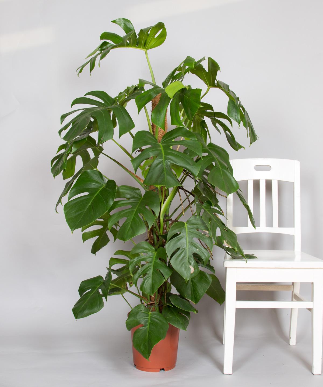 Entdecke die monstera bei 2bloom 2bloom for Zimmer pflanzenversand