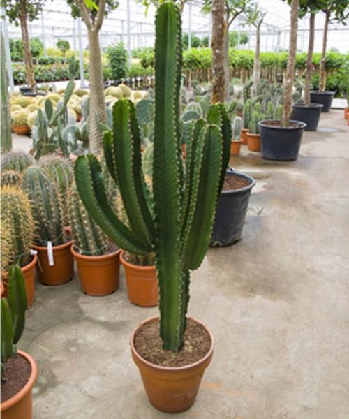 Euphorbia ingens, 145 cm