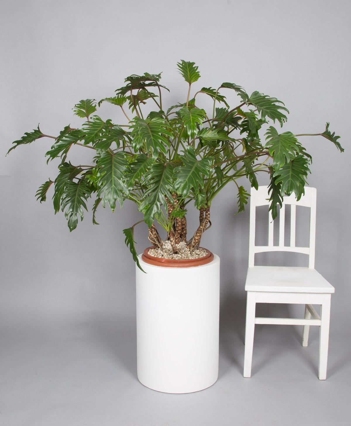 philodendron xanadu online kaufen bei 2bloom 2bloom. Black Bedroom Furniture Sets. Home Design Ideas