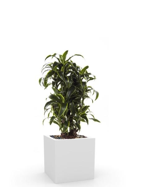 Drachenbaum Dorado, 100 cm