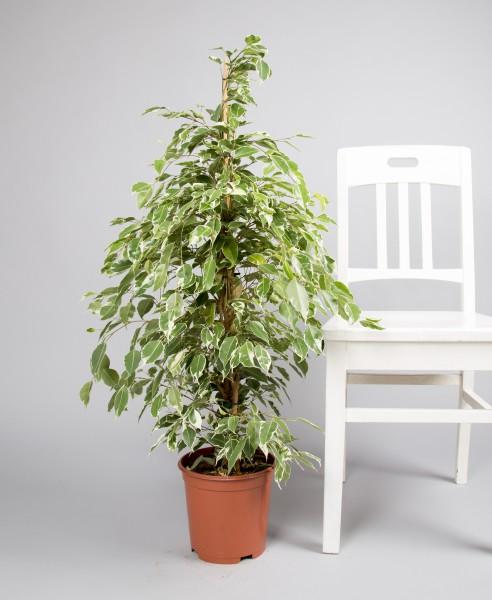 Ficus benjamina, twilight