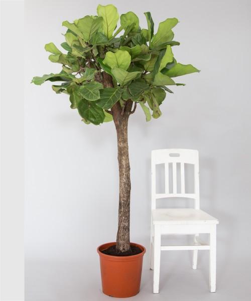 lyrata Ficus