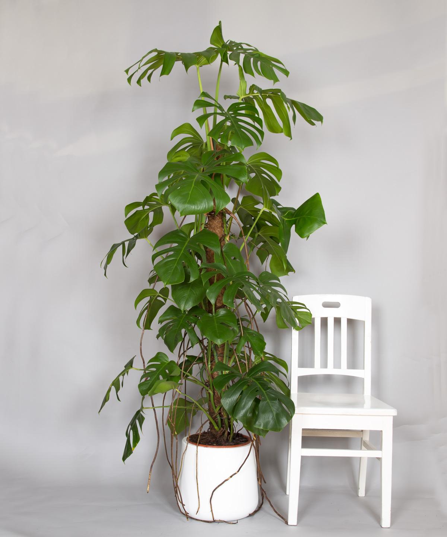 monstera fensterblatt bestellen bei 2bloom 2bloom. Black Bedroom Furniture Sets. Home Design Ideas