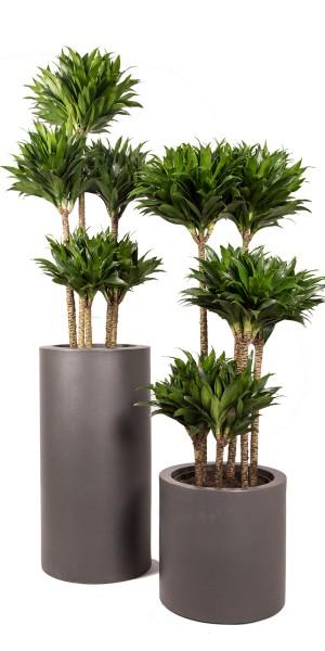 Drachenbaum, Compacta, 150 cm